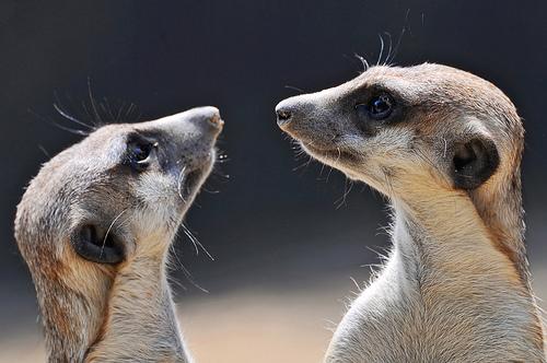 フリー画像| 動物写真| 哺乳類| 小動物| ミーアキャット|