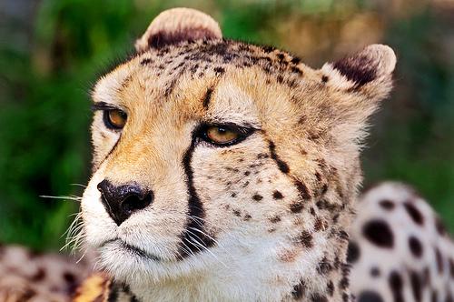 フリー画像| 動物写真| 哺乳類| ネコ科| チーター|