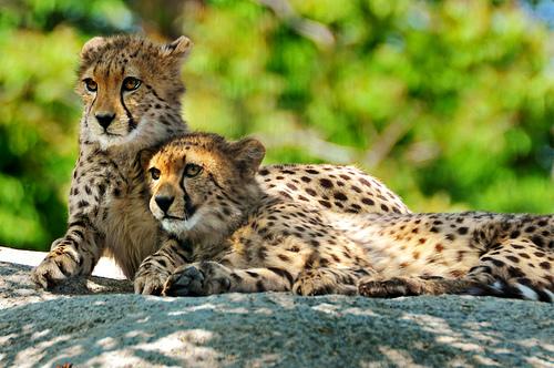 フリー画像| 動物写真| 哺乳類| ネコ科| チーター| 親子/家族|