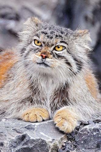 フリー画像| 動物写真| 哺乳類| ネコ科| 猫/ネコ| マヌルネコ/モウコヤマネコ|