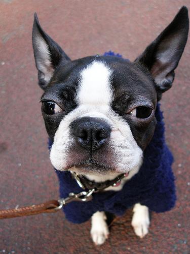 フリー画像| 動物写真| 哺乳類| イヌ科| 犬/イヌ| ボストンテリア|