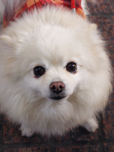 フリー画像| 動物写真| 哺乳類| イヌ科| 犬/イヌ| ポメラニアン|