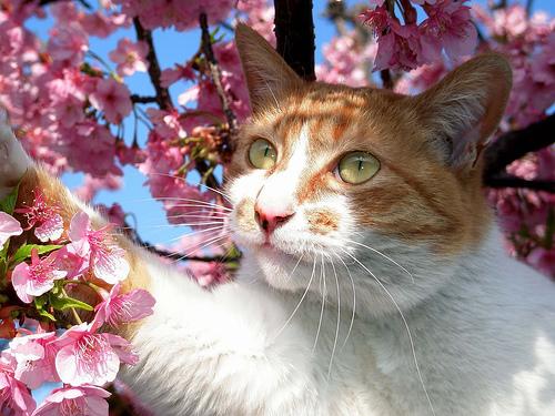 フリー画像| 動物写真| 哺乳類| ネコ科| 猫/ネコ| 桜/サクラ| チャトラ|