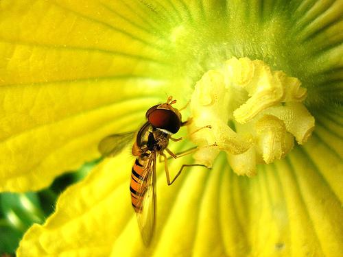 フリー画像|節足動物|昆虫|虻/アブ|花/フラワー|黄色/イエロー|