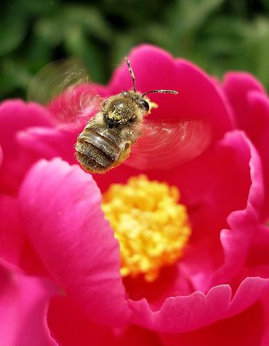 フリー画像| 節足動物| 昆虫| てんとう虫/テントウムシ| 花粉| 花/フラワー| 桃色/ピンク|