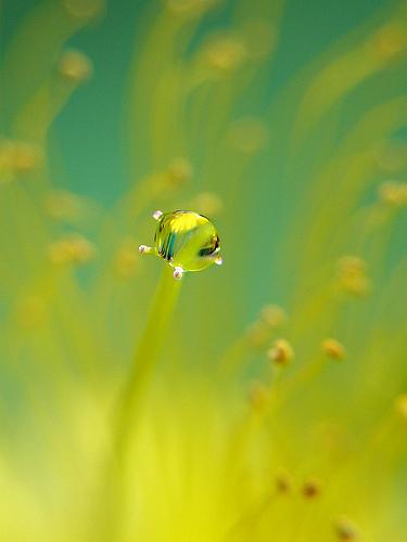 フリー画像| 植物| 雫/水滴| 黄色/イエロー|