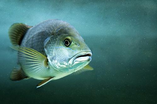 フリー画像| 動物写真| 魚類| ゴマフエダイ|