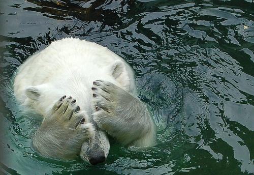 フリー画像| 動物写真| 哺乳類| 熊/クマ| 白くま/シロクマ| 目を覆う|