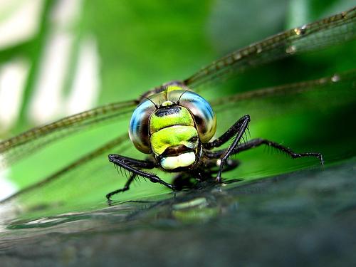 フリー画像| 節足動物| 昆虫| とんぼ/トンボ| 緑色/グリーン|