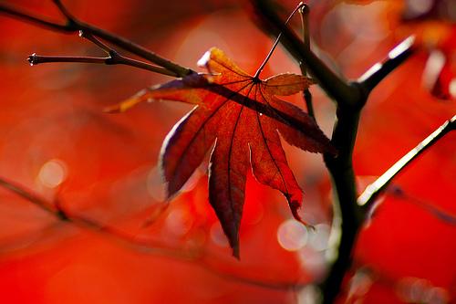 フリー画像| 植物| 紅葉の風景| 葉っぱ| カエデ/もみじ| 赤色/レッド|