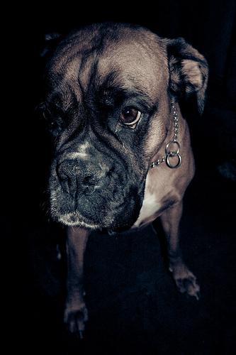 フリー画像| 動物写真| 哺乳類| イヌ科| 犬/イヌ| ボクサー犬| 黒色/ブラック|