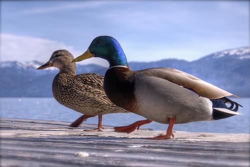フリー画像| 動物写真| 鳥類| 野鳥| 鴨/カモ| 恋人/カップル| HDR画像|
