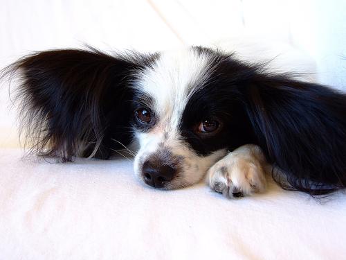 フリー画像| 動物写真| 哺乳類| イヌ科| 犬/イヌ| パピヨン|