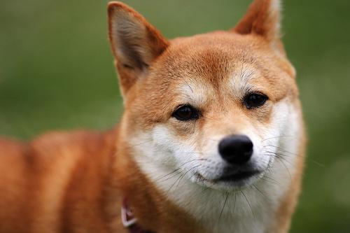 フリー画像| 動物写真| 哺乳類| イヌ科| 犬/イヌ| 柴犬/シバイヌ|