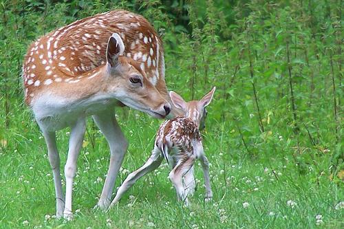 フリー画像| 動物写真| 哺乳類| 鹿/シカ| 親子/家族| バンビ|