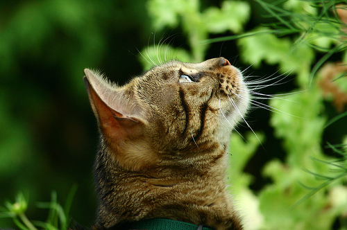 フリー画像| 動物写真| 哺乳類| ネコ科| 猫/ネコ| 見上げる| キジトラ|