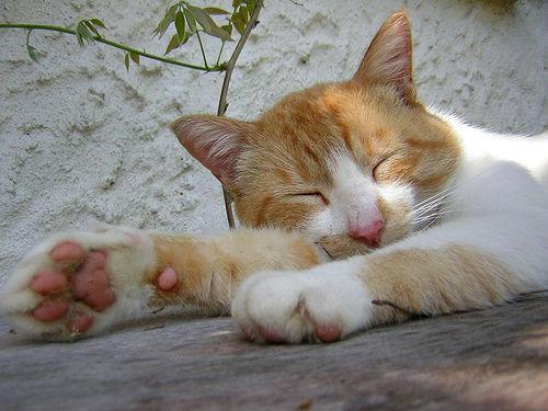 フリー画像|動物写真|哺乳類|ネコ科|猫/ネコ|寝顔/寝相/寝姿|チャトラ|