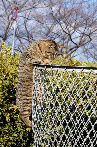 フリー画像| 動物写真| 哺乳類| ネコ科| 猫/ネコ| ゴミ箱| 覗く/見る| キジトラ|