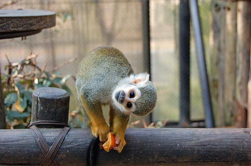 フリー画像| 動物写真| 哺乳類| 小動物| 猿/サル| リスザル| 覗く/見る|