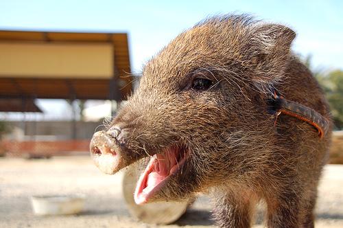 フリー画像| 動物写真| 哺乳類| 猪/イノシシ| うり坊/ウリボウ|