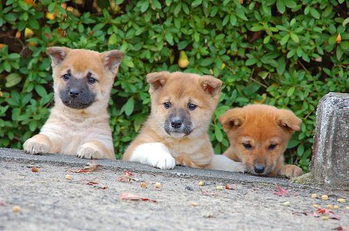 フリー画像| 動物写真| 哺乳類| イヌ科| 犬/イヌ| 子犬| 柴犬/シバイヌ|