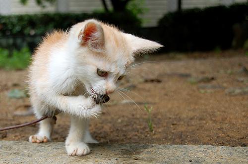 フリー画像| 動物写真| 哺乳類| ネコ科| 猫/ネコ| 子猫| 歌う| チャトラ|