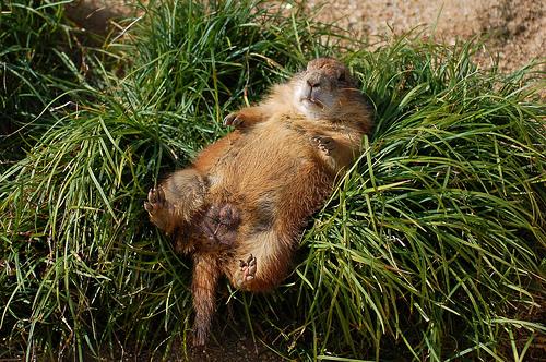 フリー画像| 動物写真| 哺乳類| リス科| 小動物| プレリードッグ|