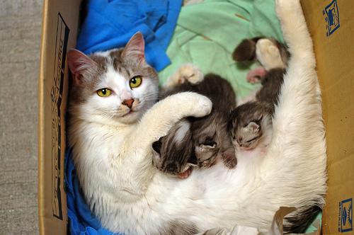 フリー画像| 動物写真| 哺乳類| ネコ科| 猫/ネコ| 親子/家族| 子猫| 授乳|