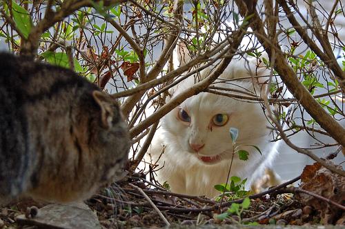 フリー画像|動物写真|哺乳類|ネコ科|猫/ネコ|ペルシャ猫|オッドアイ/虹彩異色症|格闘/決闘|
