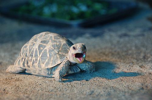 フリー画像  動物写真  は虫類  亀/カメ  叫ぶ 