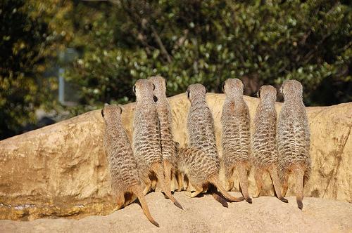 フリー画像| 動物写真| 哺乳類| 小動物| ミーアキャット| 覗く/見る|