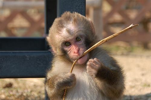 フリー画像| 動物写真| 哺乳類| 猿/サル| 子猿| ニホンザル|