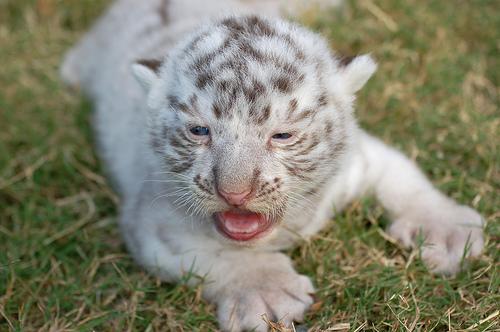 フリー画像| 動物写真| 哺乳類| ネコ科| 虎/トラ| ホワイトタイガー| 赤ちゃん/動物|