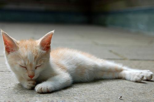 フリー画像| 動物写真| 哺乳類| ネコ科| 猫/ネコ| 子猫| 寝顔/寝相/寝姿| チャトラ|