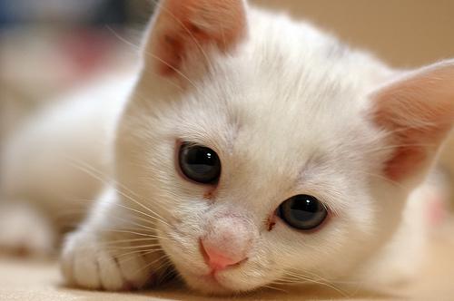 フリー画像| 動物写真| 哺乳類| ネコ科| 猫/ネコ| 子猫| 白猫|
