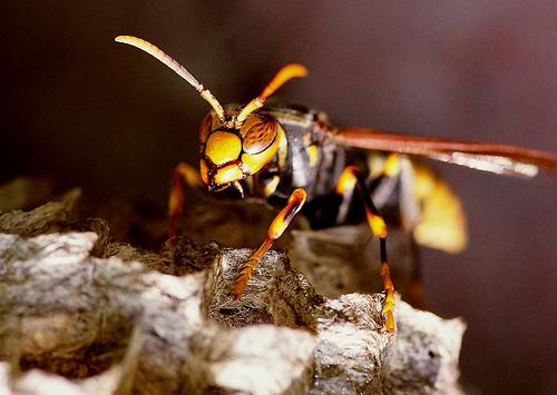 フリー画像| 節足動物| 昆虫| 蜂/ハチ| スズメバチ|