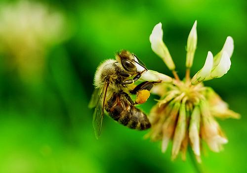 フリー画像| 節足動物| 昆虫| 蜂/ハチ| 蜜蜂/ミツバチ| 緑色/グリーン|