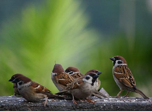 フリー画像  動物写真  鳥類  野鳥  雀/スズメ 