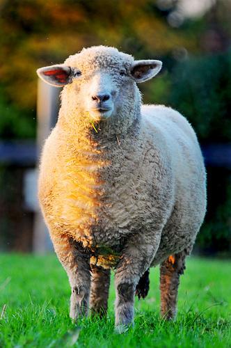 フリー画像| 動物写真| 哺乳類| 羊/ヒツジ|