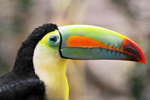 フリー画像  動物写真  鳥類  オオハシ 