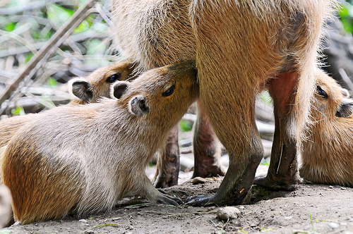 フリー画像| 動物写真| 哺乳類| ネズミ上科| カビパラ| 授乳| 親子/家族|