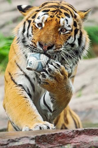 フリー画像| 動物写真| 哺乳類| ネコ科| 虎/トラ|
