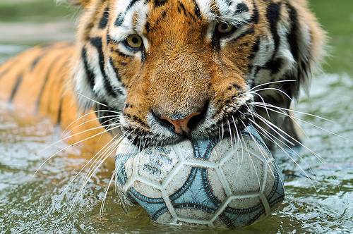 フリー画像| 動物写真| 哺乳類| ネコ科| 虎/トラ| サッカー|