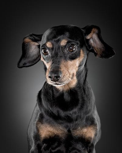 フリー画像  動物写真  哺乳類  イヌ科  犬/イヌ  ミニチュアダックスフンド 