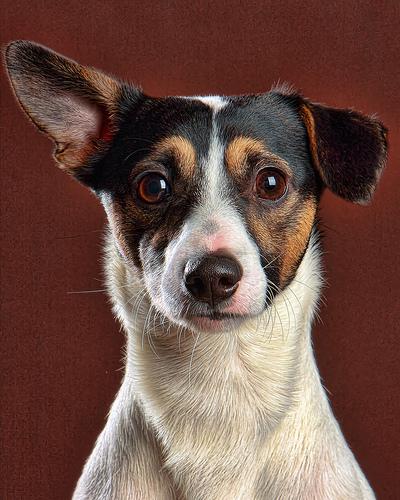 フリー画像| 動物写真| 哺乳類| イヌ科| 犬/イヌ| ジャック・ラッセル・テリア|