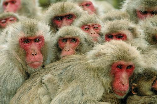 フリー画像| 動物写真| 哺乳類| 猿/サル| ニホンザル| 小豆島|