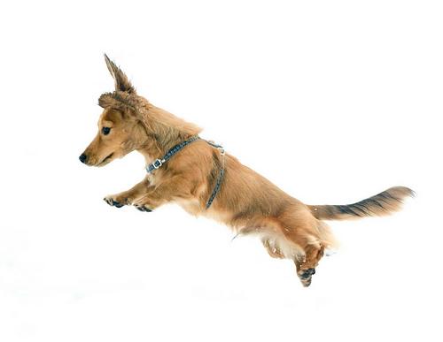フリー画像| 動物写真| 哺乳類| イヌ科| 犬/イヌ| ミニチュアダックスフンド| 跳ぶ/ジャンプ|
