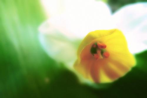 フリー画像| 花/フラワー| 水仙|