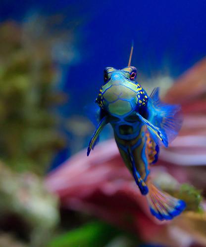 フリー画像| 動物写真| 魚類| ニシキテグリ/マンダリン・フィッシュ| 青色/ブルー|
