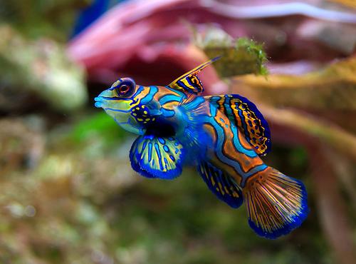 フリー画像|動物写真|魚類|ニシキテグリ/マンダリン・フィッシュ|